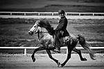 Icelandic horse at Landsmót