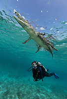TH1323-D. American Crocodile (Crocodylus acutus) rests at the surface while scuba diver (model released) observes from underneath. Growing to 6 meters long, this is one of the larger crocodilians in the New World tropics. This species is comfortable in both fresh and saltwater. It feeds on fish, crabs, turtles, birds, and even mammals such as deer. Cuba, Caribbean Sea.<br /> Photo Copyright &copy; Brandon Cole. All rights reserved worldwide.  www.brandoncole.com