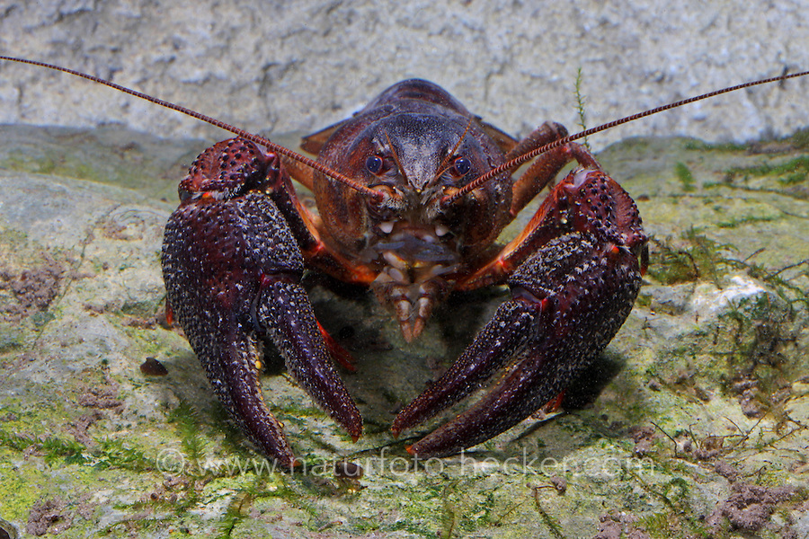 Europäischer Flusskrebs, Flußkrebs, Edelkrebs, Astacus astacus, Astacus fluviatilis, European crayfish, Noble crayfish, Broad-fingered crayfish