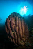Dongala, Central Sulawesi, Indonesia, November 2010. Huge barrel sponges line an underwater wall. Being directly situated at the headland of the picturesque Bay of Palu, Central Sulawesi, Dongala is the perfect place to spend some time diving the cristal clear waters over the tropical coral reefs. Photo by Frits Meyst/Adventure4ever.com