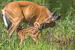 White-tailed doe nursing her fawn in northern Wisconsin