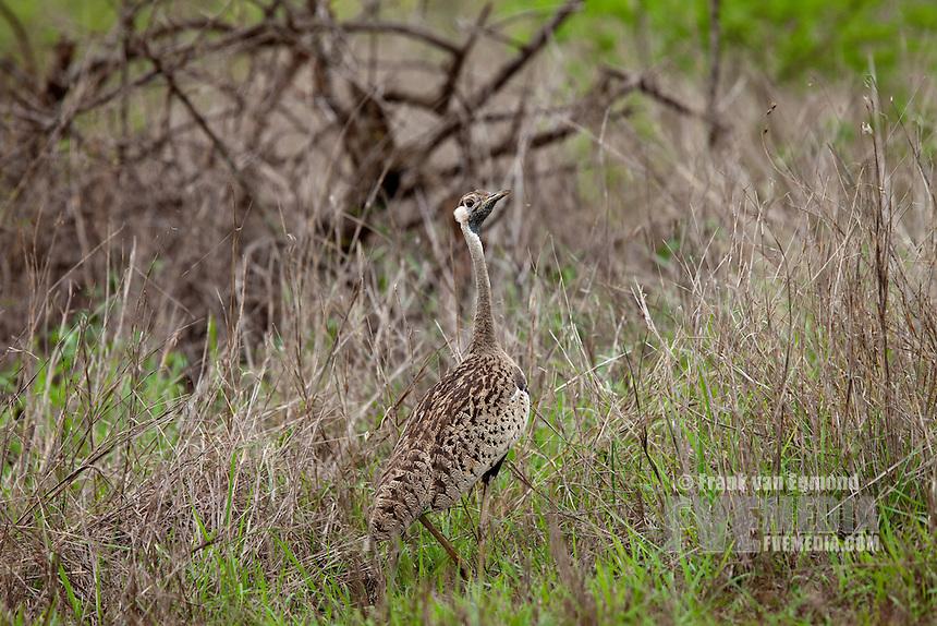 Black-bellied Bustard (Lissotis melanogaster)..Mkhuze Game Reserve, Kwazulu-Natal, South Africa..November 2010.