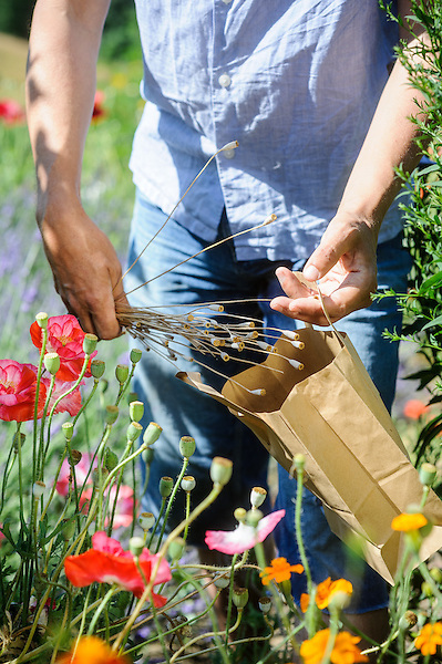 Saving seed of Shirley Poppies