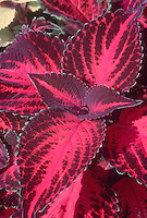 Solenostemon (Coleus) 'Kingswood Torch' red purple foliage with green scalloped edges. Stunning magenta foliage overlaid with burgundy all summer