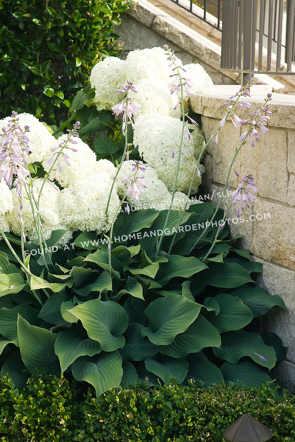 the gorgeous, giant gray green leaves and purple flower stalks of a blooming hosta backed by the massive white flowerheads of a snow white hydrangea.
