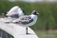 0907-0902  Laughing Gull, Larus atricilla (syn. Leucophaeus atricilla) © David Kuhn/Dwight Kuhn Photography