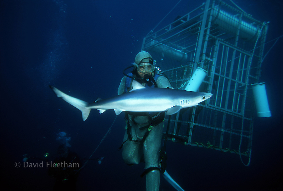 Paul Anes of San Diego Shark Diving Expeditions (www.sdsharkdiving.com) feeding a blue shark,  Prionace glauca, in a stainless steel shark suit. California, USA.