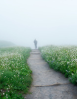 Hiker on trail with American Bistort wildflowers and fog Mt. Rainier National Park, WA