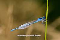 06105-00108 Familiar Bluet (Enallagma civile) damselfly male Marion Co.  IL
