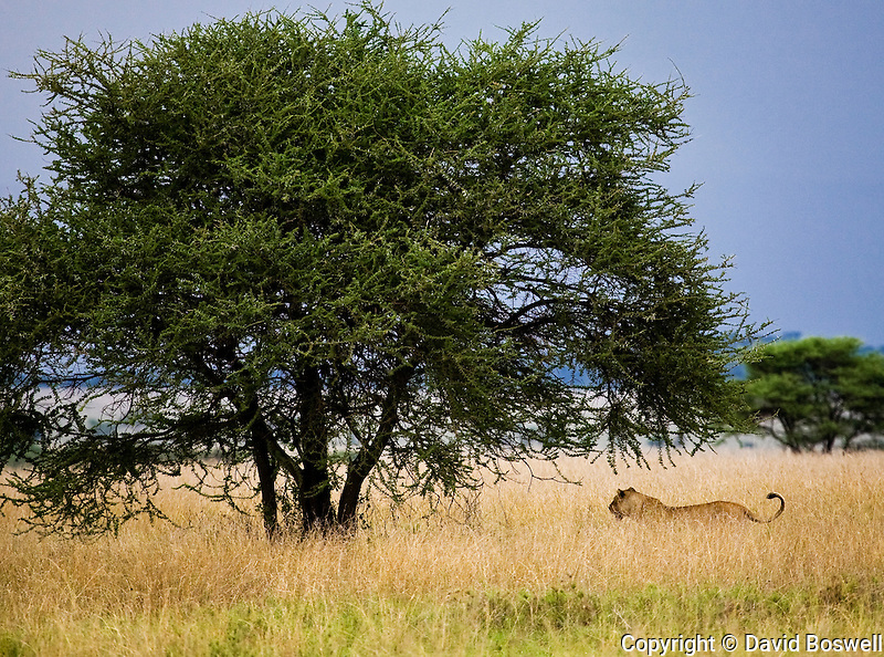 A lion stalking the grasslands of the Serengeti in Northern Tanzania.