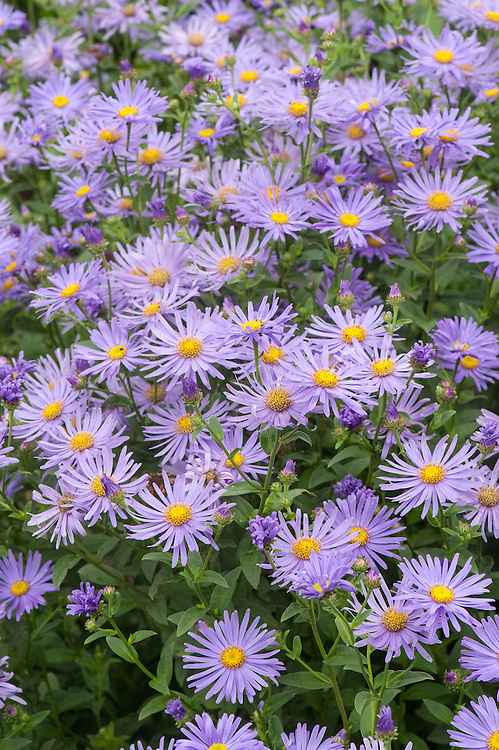 Aster × frikartii 'Wunder von Stäfa', mid August. Herbaceous perennial with dark foliage and light violet, yellow-centred flowers from August to October. Bred from a cross between A. amellus x A thomsonii by the Swiss nurseryman Carl Ludwig Frikart at his nursery at Stafa, it is slightly shorter than 'Mönch' and does not therefore need staking.