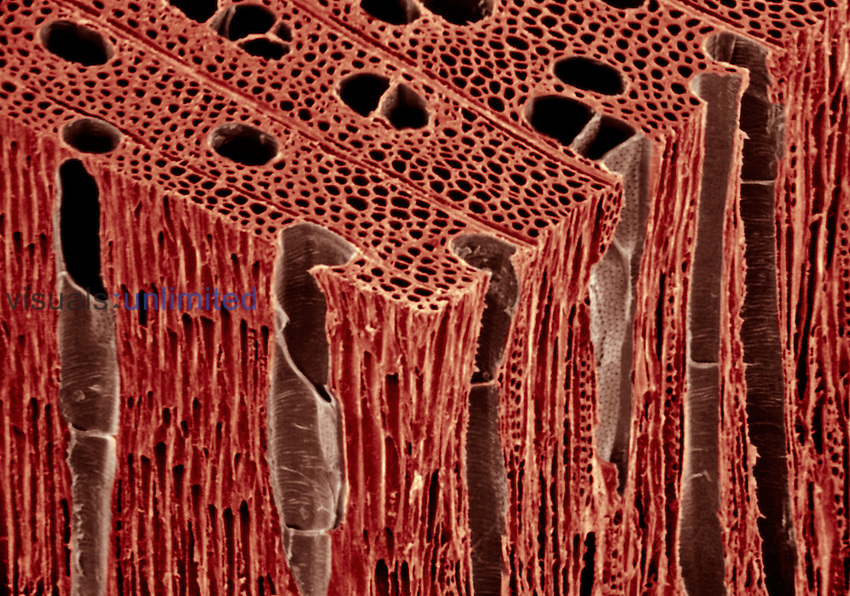 These Maple Wood (Acer) sections, transverse, radial, and tangential, show vessel members, tracheids, and multiseriate rays. SEM X300  **On Page Credit Required**