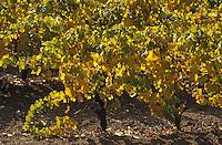Europe/France/Pays de la Loire/49/Maine-et-Loire/Thouarcé: Le vignoble côteaux du Layon