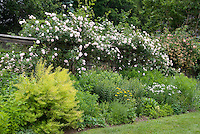 Rosa New Dawn, Large rambling climbing rose in lots of pink flowers on wall in spring, Lonicera honeysuckle vine in bloom, Achillea, perennials, shrubs, lawn grass, garden bed, Amsonia