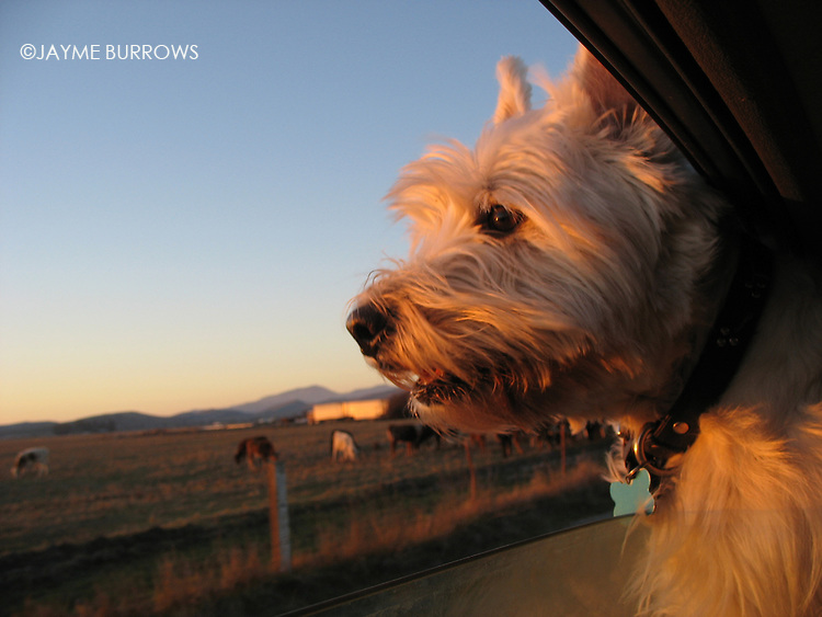 A happy West Highland White Terrier (Westie) hangs his head out of a car window in Livermore, California.