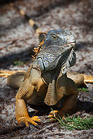 Green or Common Iguana (Iguana Iguana), Lizards, Florida