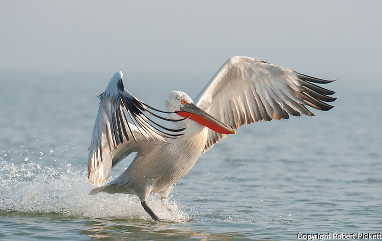 Dalmatian Pelican, Pelecanus crispus, in Breeding Plumage, Kerkini Lake, Greece, Vulnerable IUCN Red List 2007 and on Appendix I of CITES, in flight, landing on water