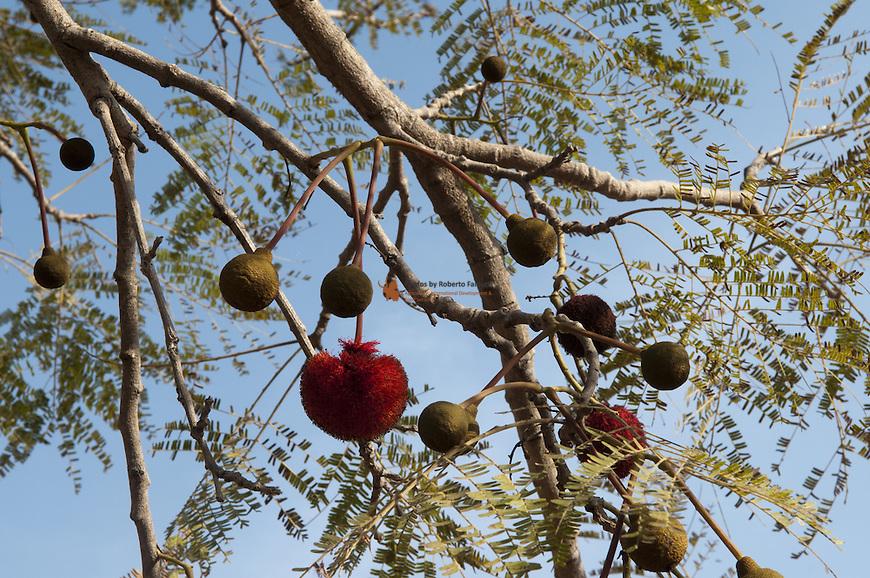 Parkia biglobosa is a very important and multi use tree
