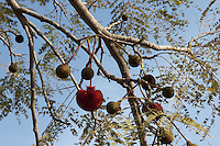 Parkia biglobosa is a very important and multi use tree