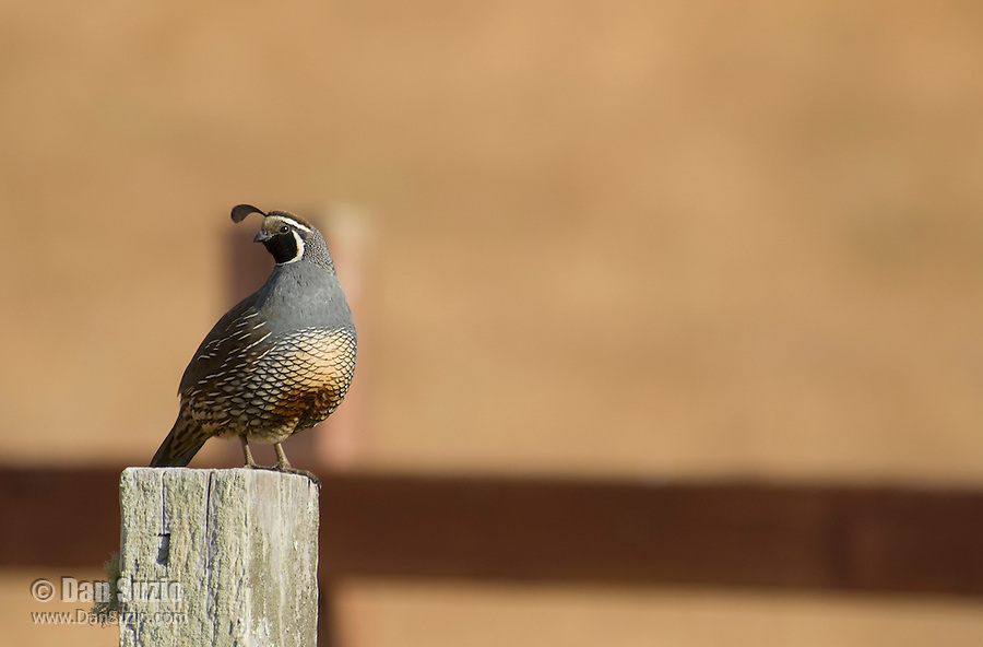 California quail, Callipepla californica, Point Reyes National Seashore, California