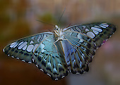 The beautiful underside of a just-emerged, Blue Clipper drying its fully spread wings as it siits on the window of the Butterfly Lab at the Durham Museum of Life and Science. A strong flyer, the Clipper butterfly has only four legs. Also known as the Phillipino Clipper.