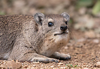Yellow-spotted Rock Hyrax, Heterohyrax brucei, in Serengeti National Park, Tanzania