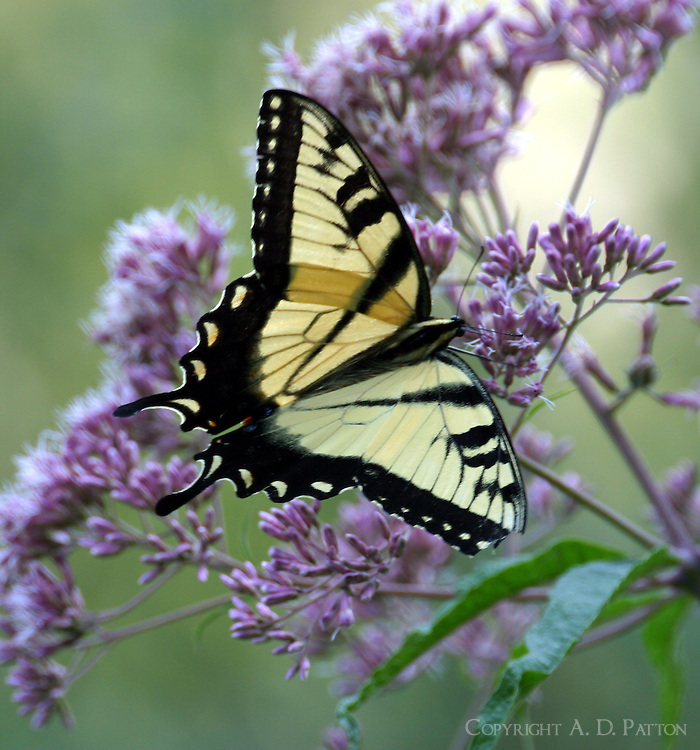 Male tiger swallowtail on Joe Pye weed