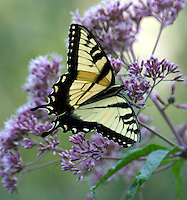 Male tiger swallowtail on Joe Pye weed