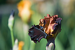 """The iris 'Solar Fire' offers up a range of warm colors from pale yellow, to bronze, to coppery-orange, and all the way through to purple."""