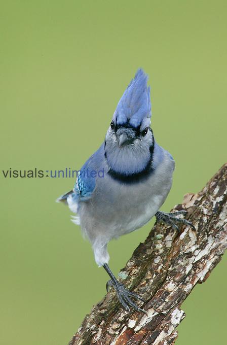 Blue Jay (Cyanocitta cristata). .