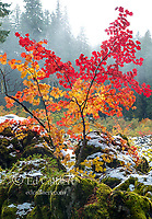 Vine Maple, Acer circinatum, Santiam Trail, McKenzie River National Wild and Scenic River, Willamette National Forest, Oregon