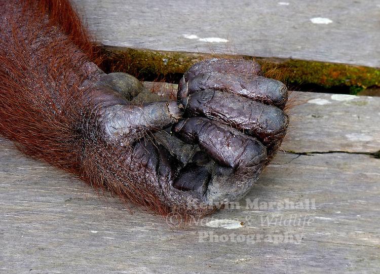 A close up of the hand of a Bornean Orangutan  (Pongo pygmaeus) - Tanjung Puting National Park, Central Kalimantan Indonesia.