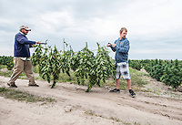 From left, Penn Mattison (cq) and Colin Sparks (cq) harvest industrial grade hemp at the Stanley Brother's farm of Charlotte's Web near Wray, Colorado, Monday, September 22, 2014. The Stanley Brothers have developed a popular strain of marijuana that has been found to be helpful in reducing seizures. The marijuana high in CBDs and low in THC, the chemical which gets a person stoned.<br /> <br /> Photo by Matt Nager