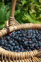 Blueberries picked in wicker basket