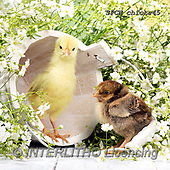 Xavier, EASTER, OSTERN, PASCUA, photos+++++,SPCHCHICKS45,#e#, EVERYDAY ,chicken