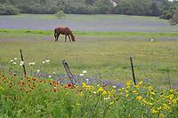 Sandyland bluebonnet (Lupinus subcarnosus), mixed wildflower field, Gonzales, Texas, USA