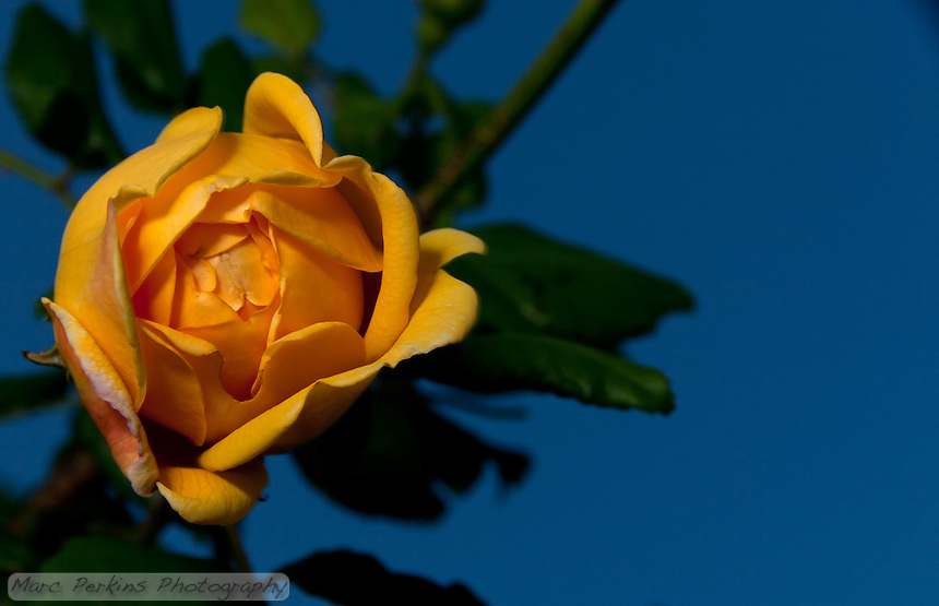 A single yellow rose softly illuminated in the minutes after sunset.