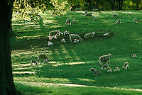 Meadow of sheep and lambs in afternoon light for peaceful pastoral scene in spring