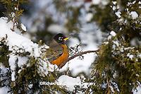 01382-04915 American Robin (Turdus migratorius) in Juniper tree (Juniperus chinensis 'Keteleeri') in winter, Marion Co., IL