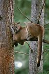 Cougar, British Columbia, Canada