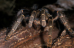 Togo or Starburst Baboon Spider, Hetroscodra maculata, Tarantula, West Africa, dark form, captive, female, feeding on cricket.Africa....
