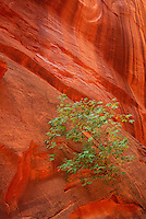 792800032 midday light turns the slickrock walls in long canyon a brilliant red providing a striking background for a lone cottonwood sapling along the burr trail in utah