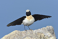 Black-eared Wheatear - Oenanthe hispanica - Male, black-throated eastern form.