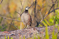 A male Florida Bobwhite (Colinus virginianus floridanus), a regional subspecies of the Northern Bobwhite, stands on a log mostly hidden in low vegetation while calling just after sunrise in Highlands Hammocks State Park, Sebring Florida.