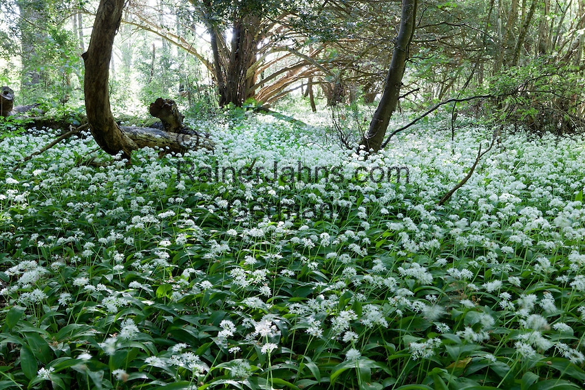 Ireland, County Kerry, near Killarney, Killarney National Park: wild garlic blossom | Irland, County Kerry, bei Killarney, Killarney National Park: bluehender Baerlauch