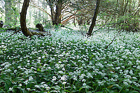 Ireland, County Kerry, near Killarney, Killarney National Park: wild garlic blossom | Irland, County Kerry, bei Killarney, Killarney National Park: bluehender Baerlauch