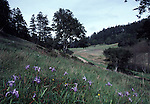 meadow on trail near Bear Valley, Douglas iris blooming