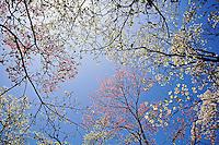Skyward view of pink and white dogwood trees, Lexington, Kentucky..Cornus florida