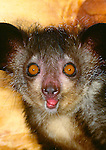 Aye-aye, indigenous to Madagascar. (captive)