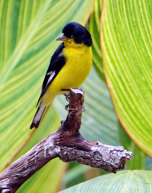 Adult male lesser goldfinch